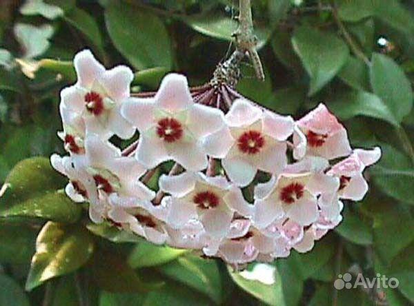 Хойя (цветущая) купить на Зозу.ру - фотография № 3