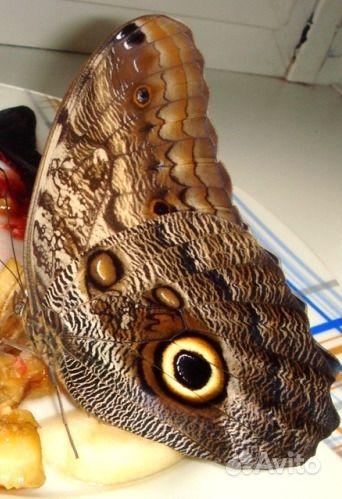 Живые Тропические бабочки Сова Андромеда - фотография № 2