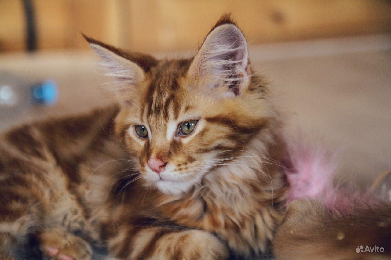 Солнечный котенок мейн-кун в Москве - фотография № 5