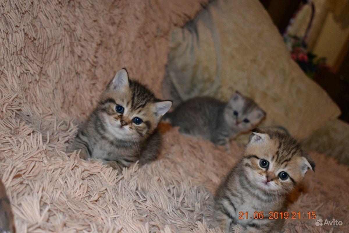 Шотландские котята в Пензе - фотография № 5