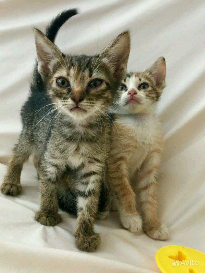 Котятки девочки. Привезу к вам в Ростове-на-Дону - фотография № 4