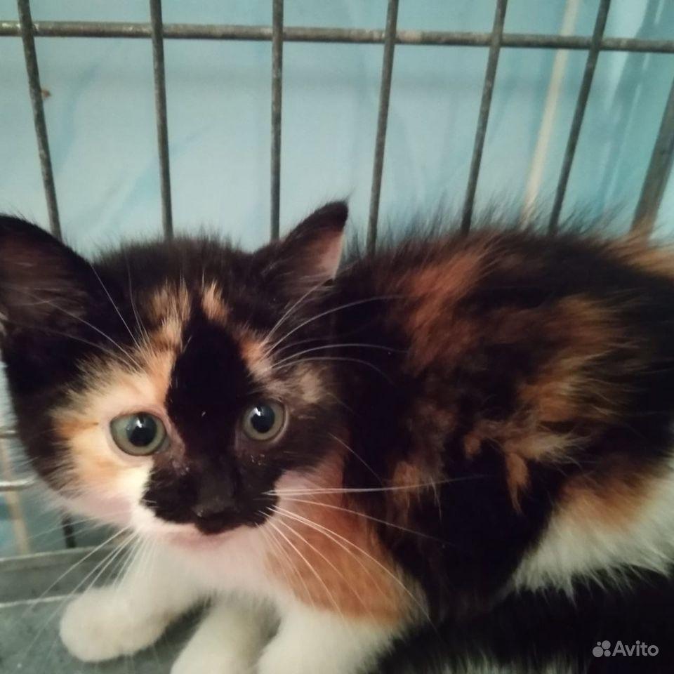Котята черно-белые и трехцветка 2мес - фотография № 2