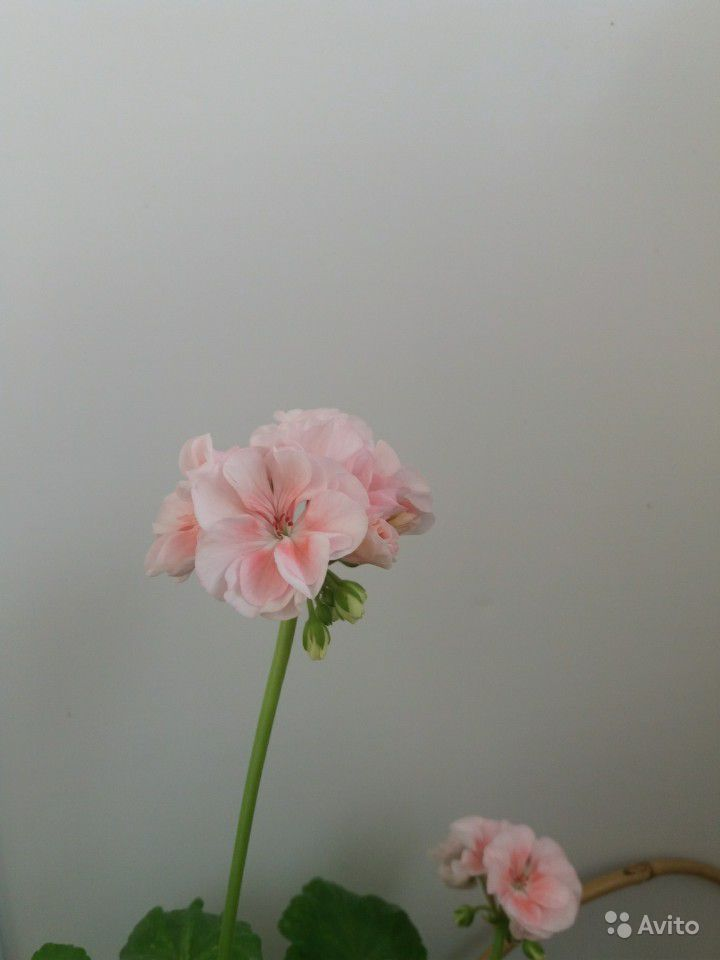 Герань розовая купить на Зозу.ру - фотография № 6