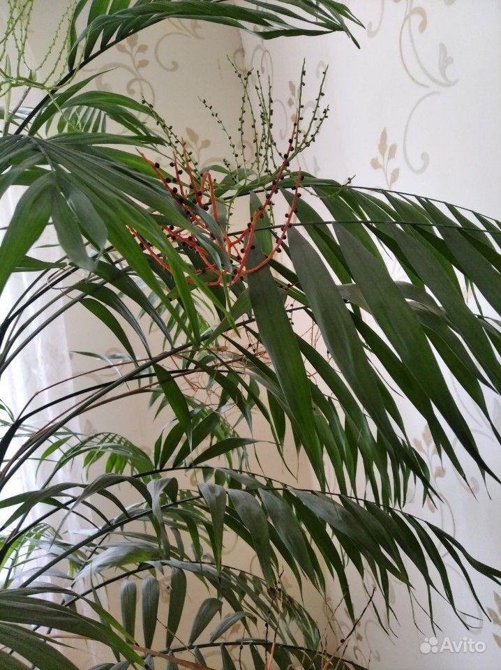 Пальма - красавица цветущая купить на Зозу.ру - фотография № 4