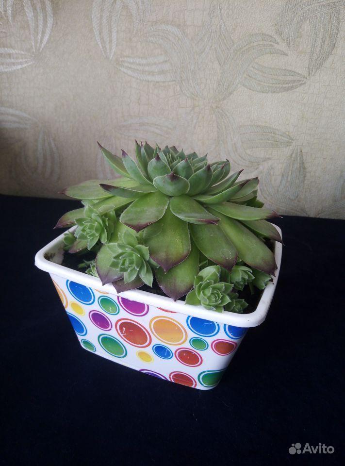Молодило растение купить на Зозу.ру - фотография № 2
