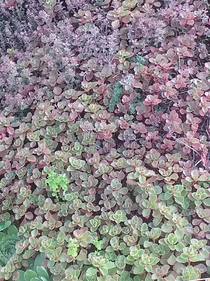 Почвопокровные растения купить на Зозу.ру - фотография № 4