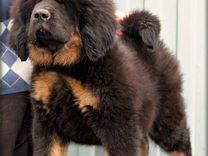 9f90d85d319e Собаки и щенки породы Мастиф - купить из питомников и частные ...