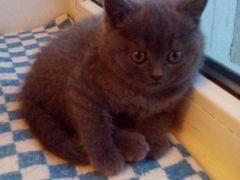 Продаем котенка девочку шотландскую прямоухую