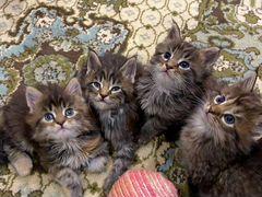Чистокровные котята породы мейн-кун