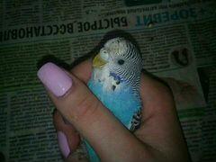 Попугай (Волнистый,4 месяца) Вместе с клеткой