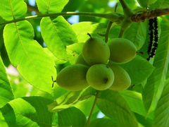 Саженцы Маньжурского ореха