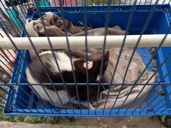 Крыса ручная с клеткой