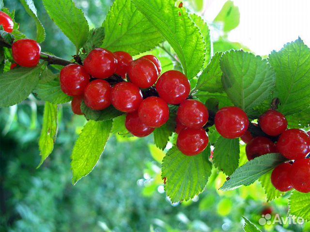 Саженцы войлочной вишни, редкий вид ...: https://avito.ru/barnaul/rasteniya/sazhentsy_voylochnoy_vishni...