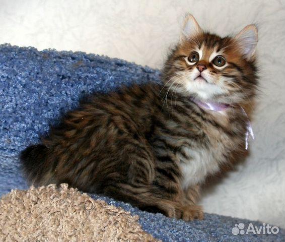 курильский бобтейл котята фото
