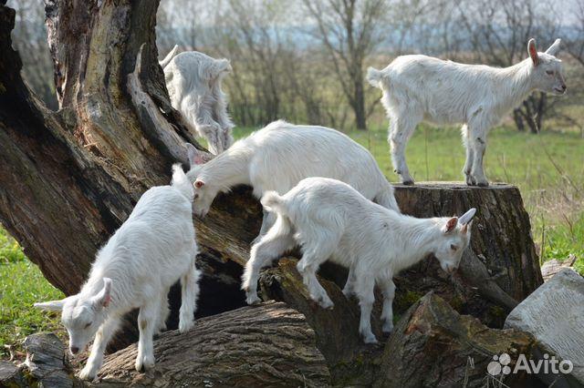 Подать объявление о продаже козлят тверская область доска объявлений санкт-петербург детские товары