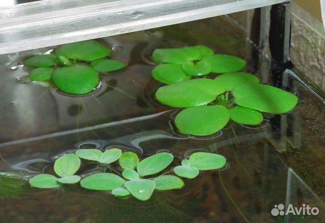 Аквариумные плавающие растения разведение