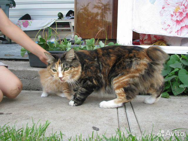 Кошка Курильского Бобтейла ищет жениха 89178050979 купить 2