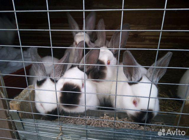 Продам калифорнийских кроликов купить 2