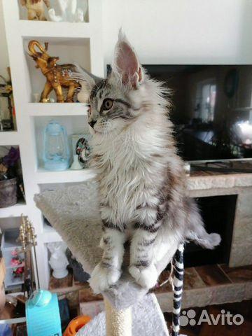 Котята мейн-кун купить 3