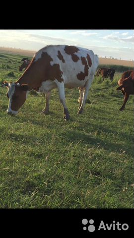 Корова купить 2