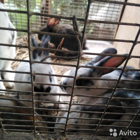 Кролики  89095041049 купить 5