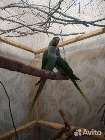 Александрийский попугай пара  89841477915 купить 4