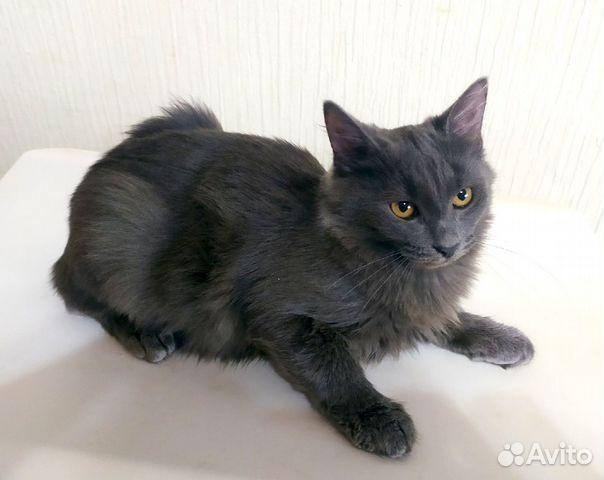 Шикарный серый кот в добрые руки  89038039728 купить 3