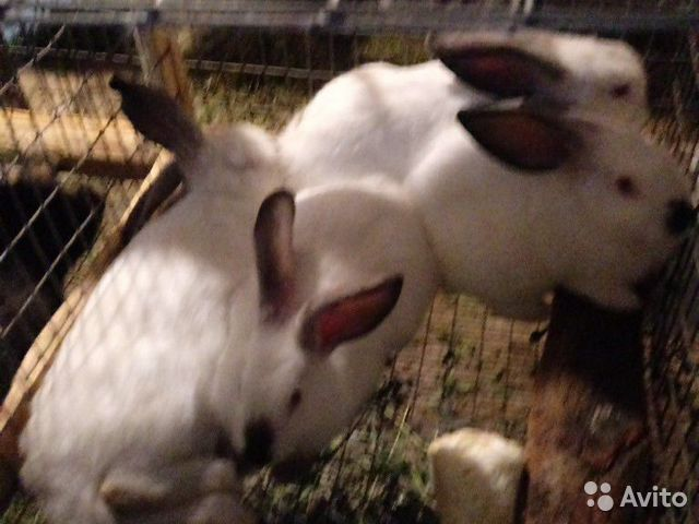 Кролик  89376707200 купить 4