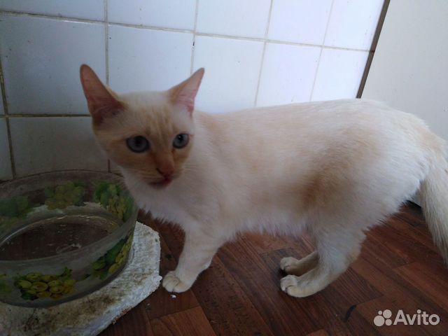 Сиамская кошка окрас ред-пойнт в добрые руки  89623042671 купить 4