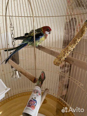 Продам попугая  89628134260 купить 1