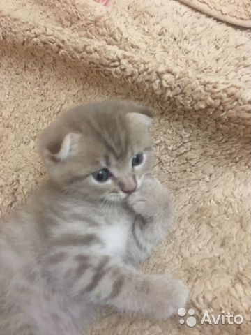 Шотландский котенок  89898842157 купить 3