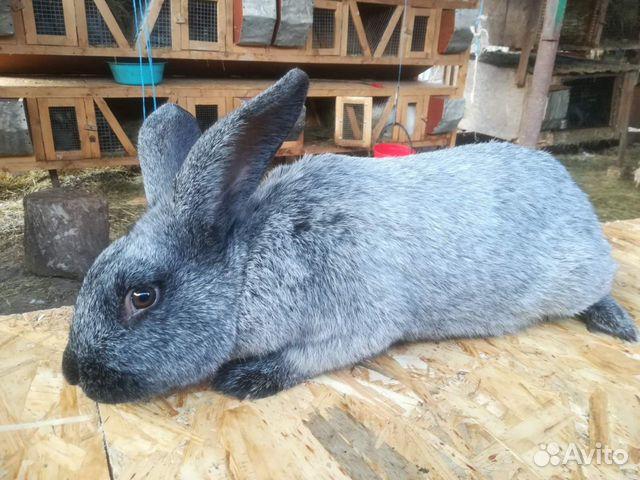 Кролики  89787432083 купить 2