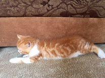 Шотландский котик для вас