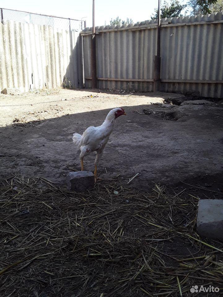 Бойцовая птица  89620216553 купить 3
