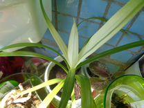 Панданус редкий бело - зелёный
