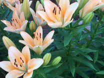 Лилия персикового цвета