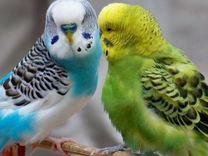 Пара волнистых попугайчиков с клеткой