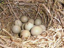 Продаём фазанов семьями,яйцо инкубационное,цыплят