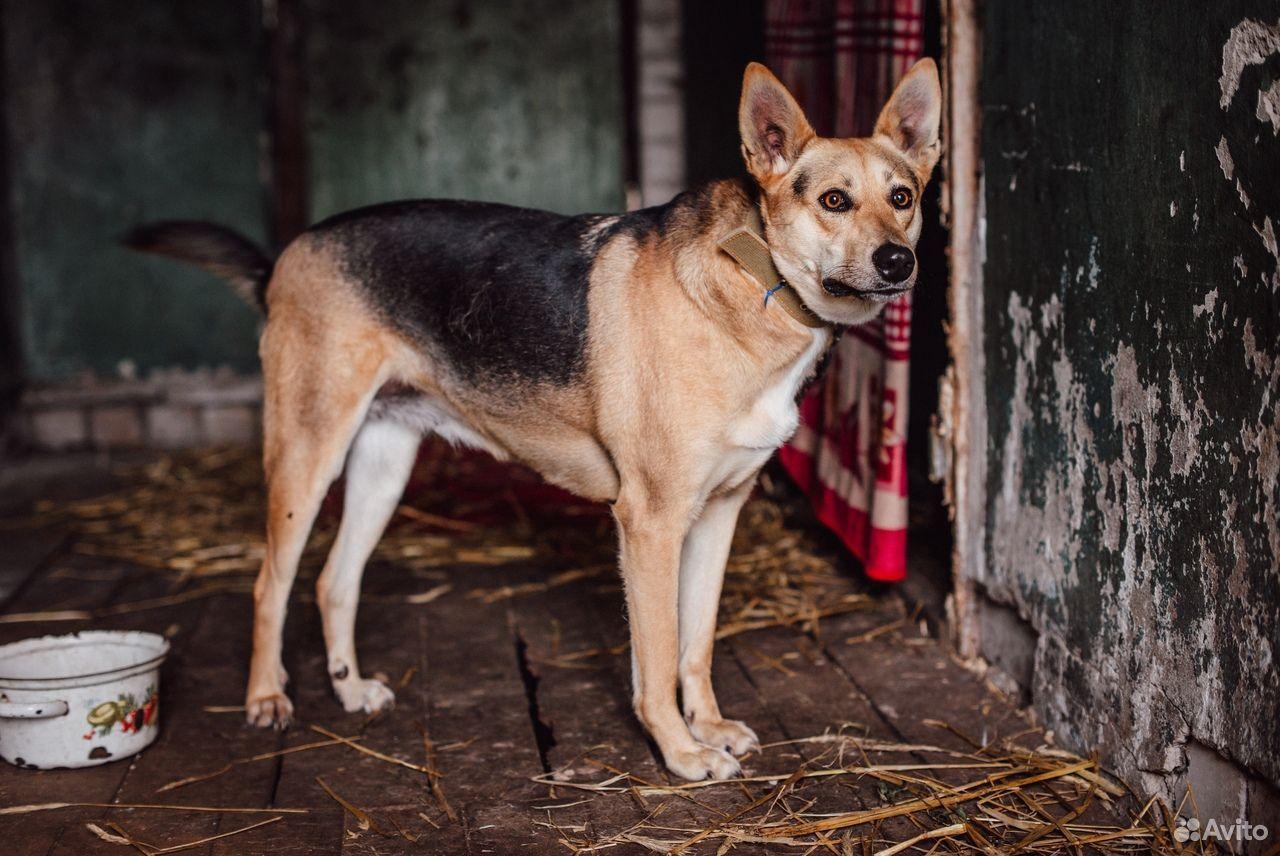 Собака Дана ищет дом  89105364195 купить 3
