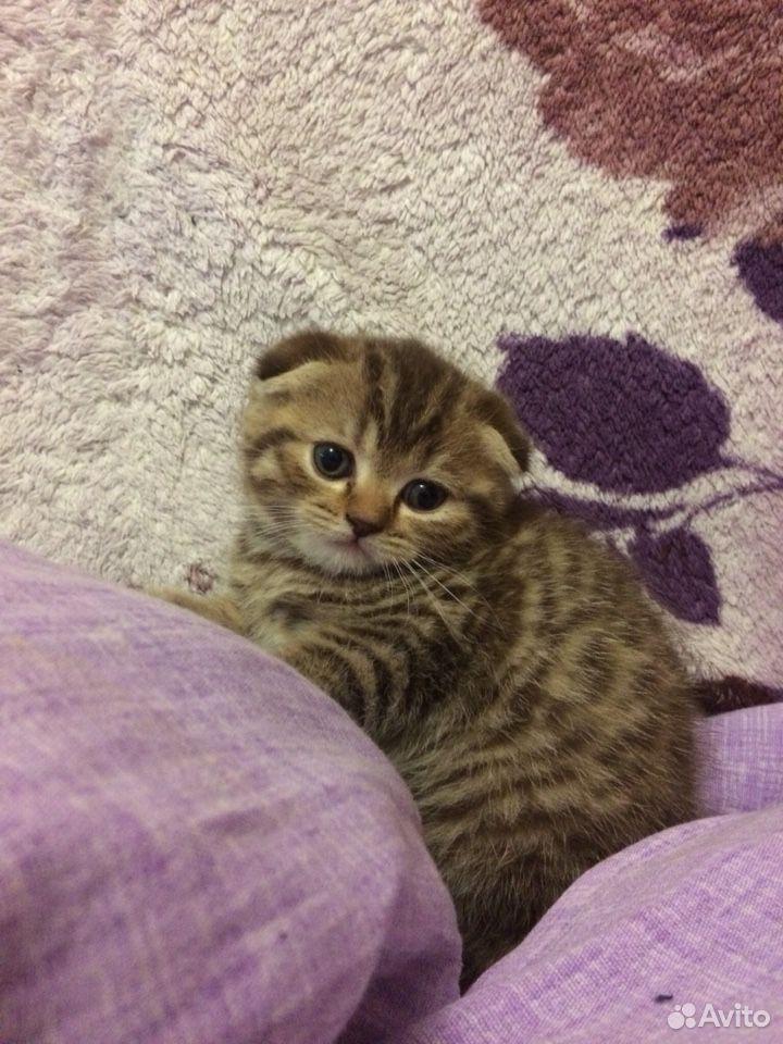 Scottish kittens  89081189556 buy 2
