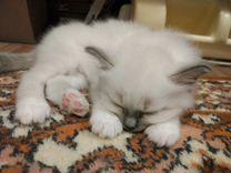 Котята породы Священная Бирма