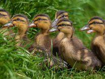 Утки, гуси, муларды, бройлерные: цыплята, утята