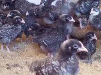 Цыплята породы Доминант