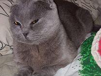 Отдам в дар молодую кошку-британку