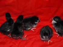Цыплята И