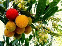 Земляничное дерево Арбутус