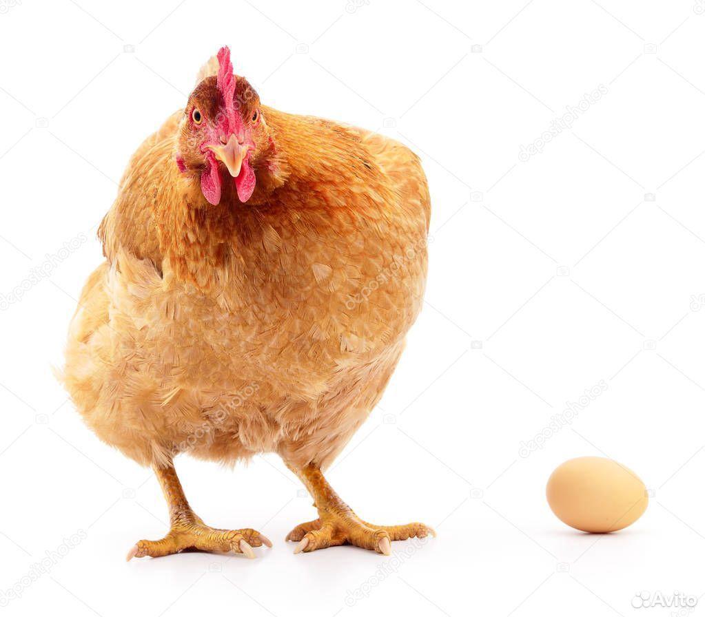 Ведем запись на яйцо несушки на сезон 2021 г
